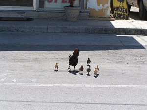 Chickens Crossing