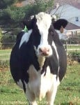 Bluetooth Cow