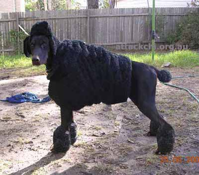 Dog Disguise Poodle