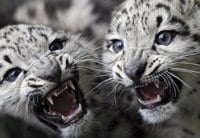 Snow Leopards