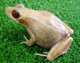 Translucent Frog